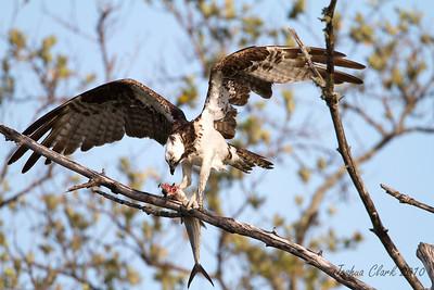 """OspreyJ.N. """"Ding Darling"""" Wildlife Refuge, Florida"""