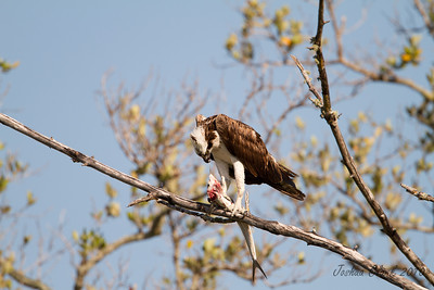 "OspreyJ.N. ""Ding Darling"" Wildlife Refuge, Florida"