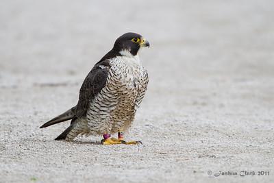 Peregrine Falcon Brecksville Reservation, Ohio
