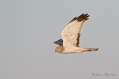 Northern Harrier (Grey Ghost) Ontario, Canada