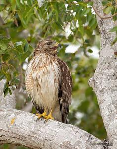 Red-Shouldered Hawk Everglades, Florida