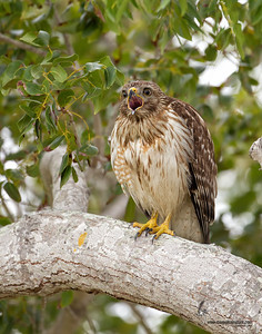 Red-Shouldered Hawk Everglades, Florida