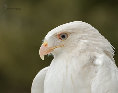 "Leucistic Red-tailed Hawk ""Cloud"" (captive) Medina Raptor Center, Ohio"