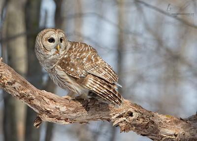 Barred OwlTinkers Creek State Nature Preserve, Ohio