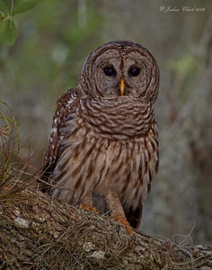 Barred Owl Indian River County, Florida