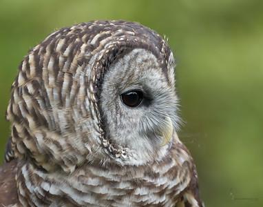 """Boris"" Barred Owl (captive)Medina Raptor Center, Ohio"
