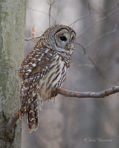 Barred Owl North Chagrin Reservation, Ohio