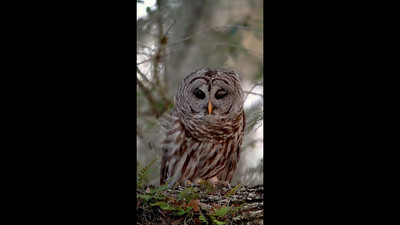Video clip of a Barred Owl Indian River County, Florida