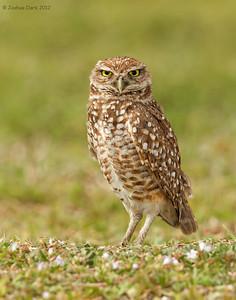 Burrowing Owl Broward County, Florida