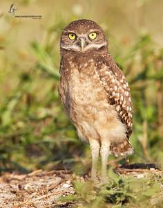 Burrowing Owl (juveline)Cape Coral, Florida