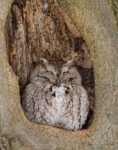 Eastern Screech Owl (Grey-Morph) Ontario, Canada