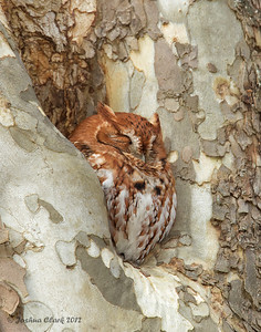 Eastern Red-Morph Screech OwlBrecksville Reservation, Ohio