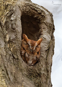 Eastern Screech Owl, Red-morphFirestone Park, Ohio