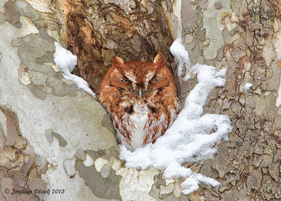 Eastern Screech Owl (Red-Morph)Brecksville Reservation, Ohio