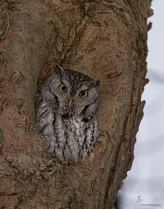 Eastern Screech Owl (Grey-Morph)Brecksville Reservation, Ohio