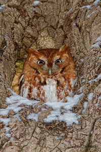 Red-Morph Eastern Screech OwlBrecksville Reservation, Ohio