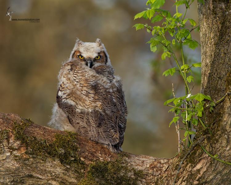 <center> <font>Great Horned Owl <font></font></font><center><font>Brecksville Reservation, Ohio</font></center> </center>