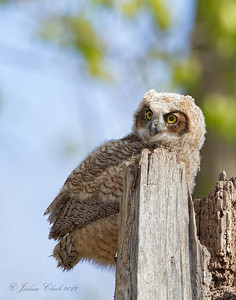 Great Horned Owlet Side Cut Reservation, Ohio