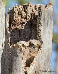 Great Horned Owlets Side Cut Reservation, Ohio