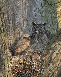 Great Horned Owl and owlets Delta, Ohio