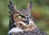 "<center><font face=""Century Gothic"" size=""+1"" color=""#FFFFFF"">""Juniper"" Great Horned Owl (captive)</font></center><font face=""Century Gothic"" size=""+1"" color=""#3366FF""><center><font color=""#377915"">Medina Raptor Center, Ohio</font></center></font>"