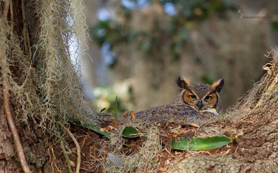 Great Horned Owl nest St. Cloud, Florida
