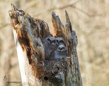 Great Horned Owl Brecksville Reservation, Ohio