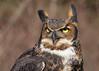 """<center><font face=""""Century Gothic"""" size=""""+1"""" color=""""#FFFFFF"""">Great Horned Owl</font></center><font face=""""Century Gothic"""" size=""""+1"""" color=""""#3366FF""""><center><font color=""""#377915"""">Medina Raptor Center, Ohio</font></center></font>"""