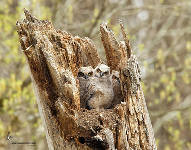 Great Horned Owl Brecksville Reservation, Ohio