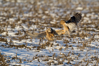 Short-Eared Owls Ontario, Canada