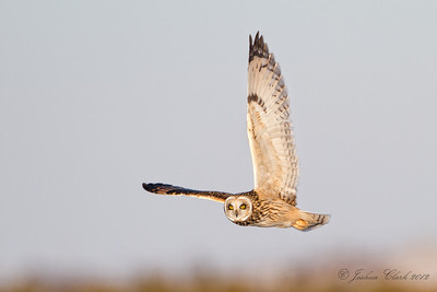 Short-Eared Owl Ontario, Canada