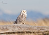 "<center><font face=""Century Gothic"" size=""+1"" color=""#FFFFFF"">Snowy Owl</font></center><font face=""Century Gothic"" size=""+1"" color=""#3366FF""><center><font color= #377915>Damon Point, Washington"