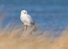 <center> <font>Snowy Owl <font></font></font><center><font>Presque Isle State Park, Pennsylvania</font></center> </center>