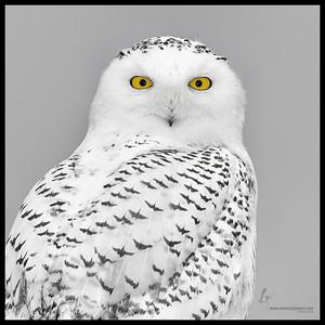 Snowy Owl (B&W rendition w/ selective color) Presque Isle State Park, Pennsylvania