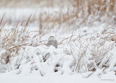 Snowy Owl Lorain Impoundment, Ohio