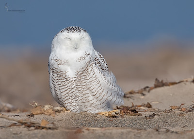 Snowy OwlPresque Isle State Park, PA
