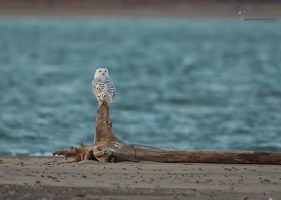 Snowy Owl Presque Isle State Park, Pennsylvania