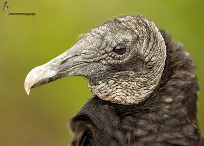 Black Vulture Anhinga Trail Everglades, Florida