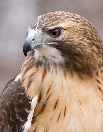 Red-tailed Hawk (captive), Nature's Nursery