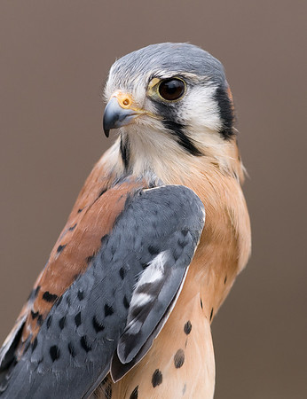 American Kestrel (captive), Nature's Nursery