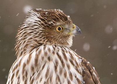 Cooper's Hawk in snow showers, Wood County