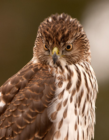 Cooper's Hawk (juvenile), Wood County