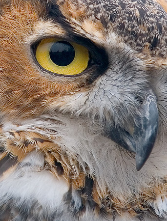 Great Horned Owl (captive), Nature's Nursery
