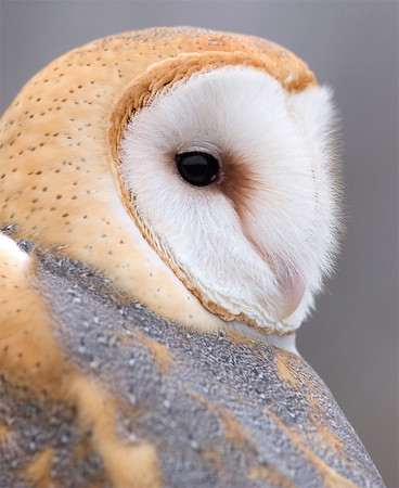 Barn Owl (captive), Nature's Nursery