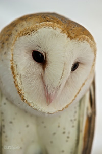Captive Barn Owl, Blackwater Maryland