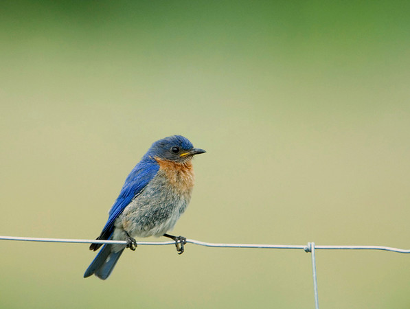 Eastern Bluebird 7<br /> Carden Alvar, Kirkfield, Ontario