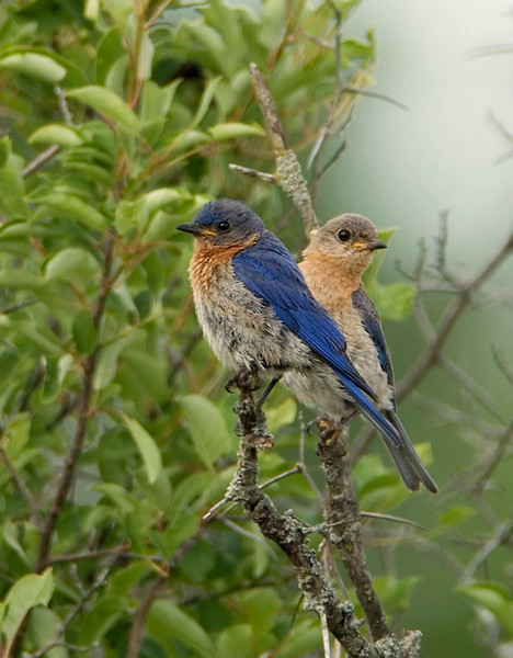 Eastern Bluebird 4<br /> Carden Alvar, Kirkfield, Ontario