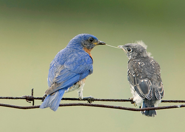 Feeding Bluebirds