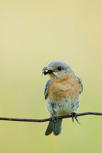 Eastern Bluebird 14<br /> Carden Alvar, Kirkfield, Ontario