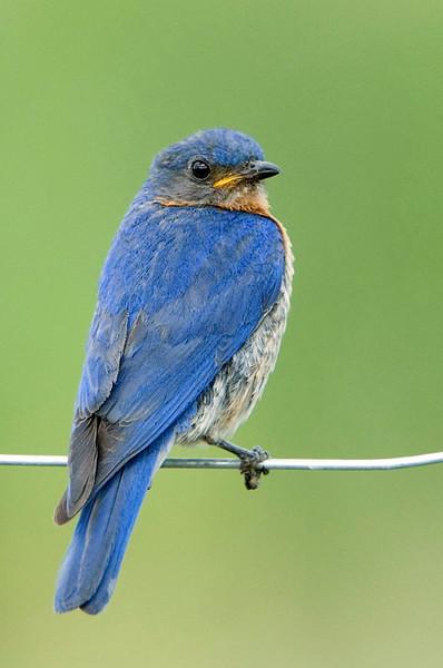 Eastern Bluebird 5<br /> Carden Alvar, Kirkfield, Ontario
